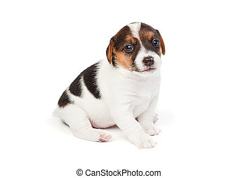 Jack Russell terrier puppy on white background