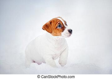 Jack Russell Terrier puppy, portrait in winter