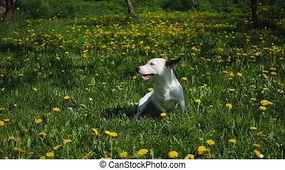 Jack Russell Terrier sits on meadow with grass