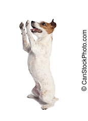 jack russell terrier standing - isolated jack russell...