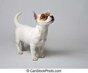 jack russell terrier - Jack Russell terrier puppy. Very...