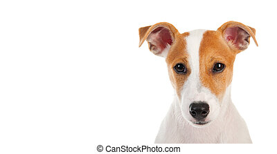 Jack russell terrier. Isolated on white background