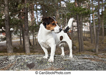 Jack Russell Terrier standing on the rock.