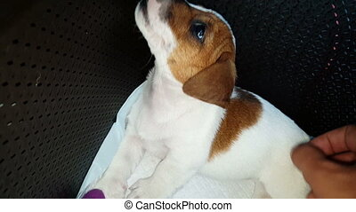 Jack Russell Terrier Two Months Old Puppy Being Petted