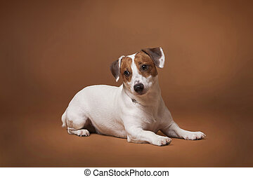 ack Russell Terrier white and red dog lying
