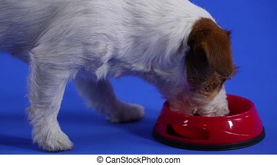 Jack Russell walks up to a red bowl in the studio on a blue background. The pet eats food, then goes around the bowl, sniffing at it. Close up of a dog's muzzle. Slow motion.