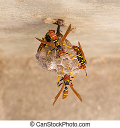 Jack Spaniard wasps on a small nest