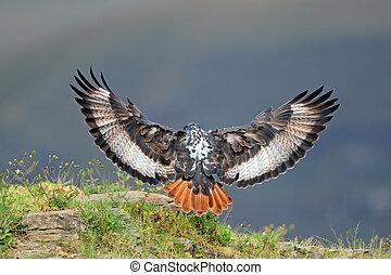 Jackal buzzard landing - A jackal buzzard (Buteo rufofuscus...