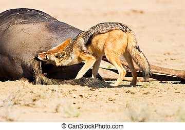 Jackal eating carcass