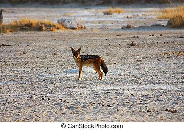 Jackal in the desert