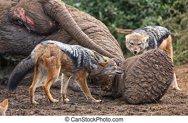Jackals feeding on dead elephant