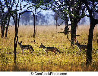 Jackals on savanna. Safari in Serengeti, Tanzania, Africa