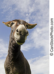 Jackass or Donkey - Humorous image of a jack ass or donkey,...