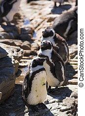 Jackass Penguin #2
