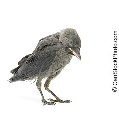 jackdaw bird on a white background close-up. vertical photo.
