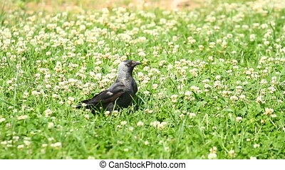 Jackdaw bird on the grass