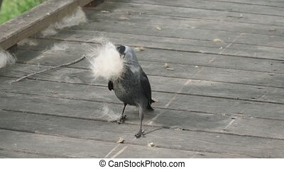 Jackdaw collects poplar fluff on a wooden platform
