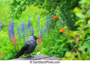 Jackdaw (Corvus monedula) in a garden - Jackdaw (Corvus...