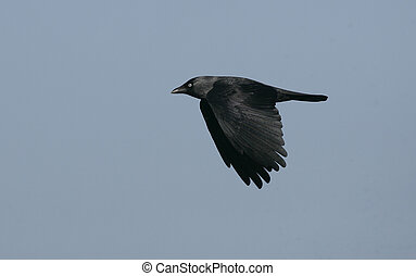 Jackdaw,  Corvus monedula, single bird in flight, UK