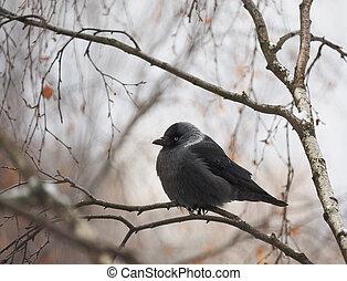 Jackdaw on a tree