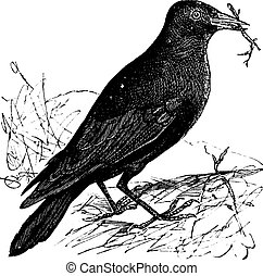 Jackdaw or Corvus monedula, vintage engraving. Old engraved illustration of a Jackdaw.