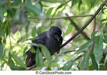 Jackdaw - Black jackdaw in a tree