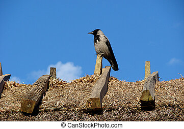 Jackdaw in a roof