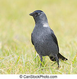 Jackdaw on green grass with grass background
