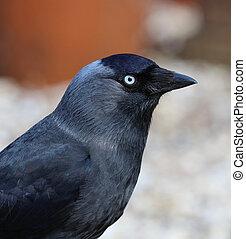 Jackdaw - Close up of a Jackdaw