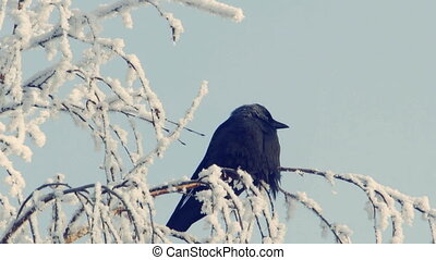 Jackdaw sits on a snow-covered branch against the blue sky 3