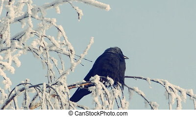 Jackdaw sits on a snow-covered branch against the blue sky 4
