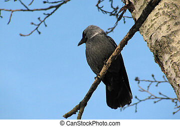 jackdaw, sitting on a branch