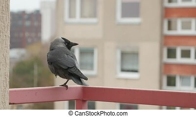 Jackdaw sits on the balcony railing. In the background an old apartment building.