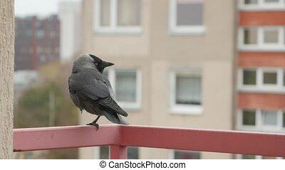 Jackdaw sitting on a railing. - Jackdaw sits on the balcony...