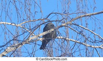 Jackdaw sitting on the branch of a birch on a background of blue sky.. Camera zooming