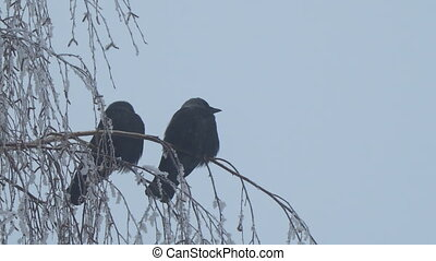 Jackdaw sitting on the branch of a birch on a background of blue sky. Camera zooming
