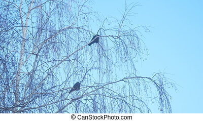 Jackdaw sitting on the branch of a birch on a background of blue sky