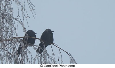 Jackdaw sitting on the branch of birch on a background of blue sky