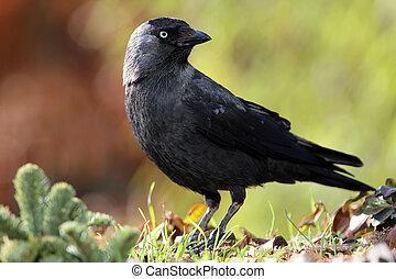 jackdaw  - jackdaw (corvus monedula)