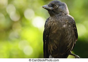 Jackdaw - Close up of a Jackdaw (Corvus monedula)