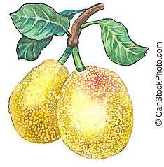 Jackfruit - Hand drawing watercolor