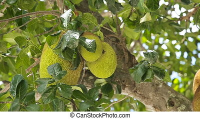 Jackfruit on the tree - tree branch full of jack...