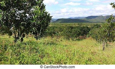 Jackfruit plantation in Vietnam - Panoramic video shot of...