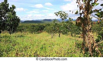 Jackfruit plantation of Eastern Vietnam - Jackfruit...