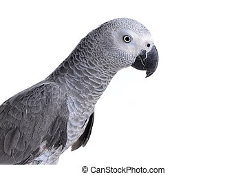 african gray parrot - Jaco or african gray parrot in home