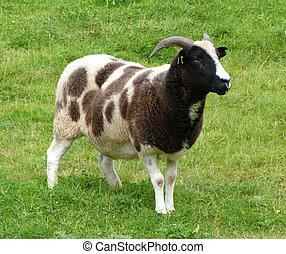 jacob, 雌羊