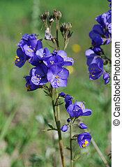 Jacob\'s Ladder or Greek valerian (P - medicinal plant