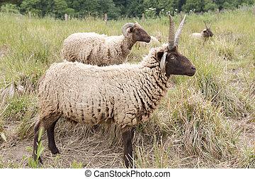 Jacobs sheeps on a meadow