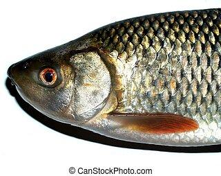 jadło, fish, słodkowodny