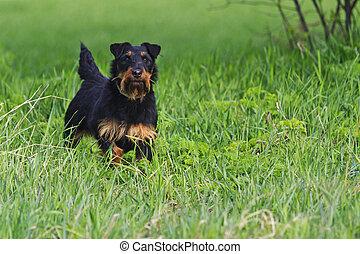 Jagdterrier in front exterior of green grass